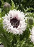 Photo Oriental poppy description