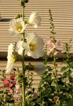 Photo Hollyhock description