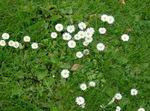 Photo Bellis daisy, English Daisy, Lawn Daisy, Bruisewort description