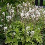 Photo Tiarella, Foam flower description