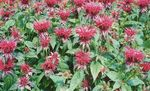 Photo Bee Balm, Wild Bergamot description