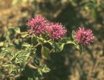 Photo Scarlet Monardella, Hummingbird Coyote Mint description