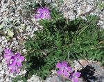 pink Garden Flowers Heron's Bill, Stork's Bill, Erodium Photo