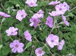 lilac Garden Flowers Heron's Bill, Stork's Bill, Erodium Photo