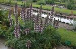 burgundy Garden Flowers Spiny bear's breeches, Acanthus Photo