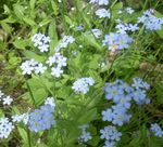 Photo Forget-me-not description