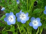 Photo Nemophila, Baby Blue-eyes description