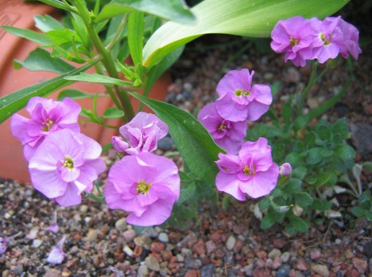 Have blomster aubrieta rock karse foto, voksende og beskrivelse ...