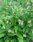 Photo Comfrey description