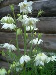 Photo Columbine flabellata, European columbine description