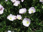 Photo Evening primrose description