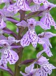 Photo Marsh Orchid, Spotted Orchid description