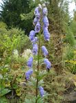 light blue Garden Flowers Monkshood, Aconitum Photo