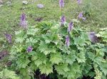 lilac Garden Flowers Monkshood, Aconitum Photo