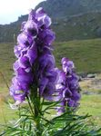purple Garden Flowers Monkshood, Aconitum Photo