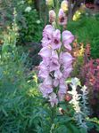pink Garden Flowers Monkshood, Aconitum Photo