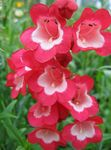 Photo Foothill Penstemon, Chaparral Penstemon, Bunchleaf Penstemon description