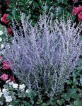 Photo Russian Sage description
