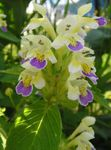 Photo Hemp Nettle description