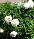 Photo Peony description