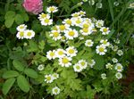Photo Painted Daisy, Golden Feather, Golden Feverfew description
