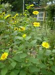 Photo Thin-leaved Sunflower description