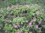 Photo Arctic Raspberry, Arctic Bramble description