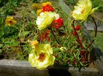 Photo Sun Plant, Portulaca, Rose Moss description