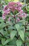 Photo Purple Joe Pye weed, Sweet Joe Pye Weed description