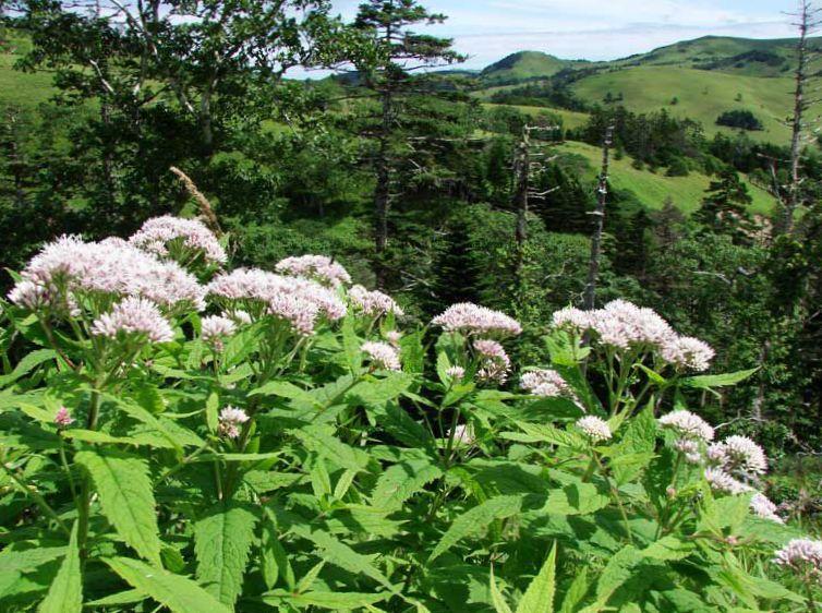 Have blomster lilla joe pye ukrudt, sød joe pye ukrudt, eupatorium ...