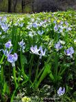 Photo Siberian squill, Scilla description