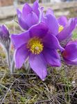 Photo Pasque flower description