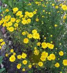 Photo Golden Marguerite, Dyer's Chamomile description