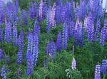 Foto Streamside Lupine opis