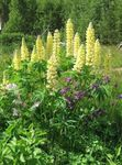 Photo Streamside Lupin description