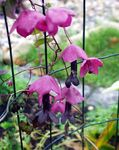Photo Purple Bell Vine description