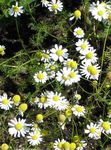 Photo German Chamomile, Scented Mayweed description