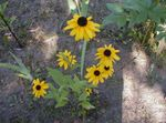 Photo Black-eyed Susan, Eastern Coneflower, Orange Coneflower, Showy Coneflower description