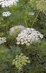 white Garden Flowers Visnaga. Khella. Bishop's Weed, Toothpickweed, Ammi visnaga Photo