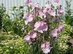 Photo Checkerbloom, Miniature Hollyhock, Prairie Mallow, Checker Mallow description