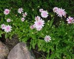 Photo Pink Hawk's Beard, Hawksbeard description