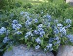 light blue Garden Flowers Blue dogbane, Amsonia tabernaemontana Photo