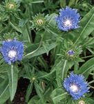 light blue Cornflower Aster, Stokes Aster, Stokesia Photo