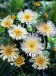 white Cornflower Aster, Stokes Aster, Stokesia Photo