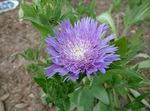 Photo Cornflower Aster, Stokes Aster description