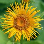 Photo Telekia, Yellow Oxeye, Heartleaf Oxeye description