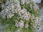 Photo Garden Thyme, English Thyme, Common Thyme description