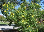 Photo Sunflower Tree, Tree Marigold, Wild Sunflower, Mexican Sunflower description