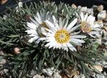 Photo Townsendia, Easter Daisy description