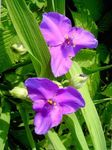 Photo Virginia Spiderwort, Lady's Tears description